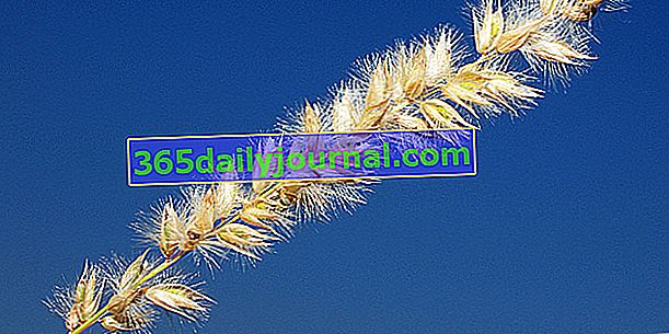 Melica ciliata (Melica ciliata), трева с пухкави шипове