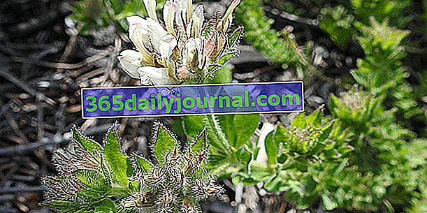 Крак на петел (Dorycnium hirsutum), или bonjeanie