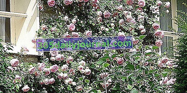 Lezecké růže oblékat podporu