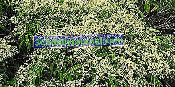 Falso viburnum (Pileostegia viburnoides), cerca de hortensias