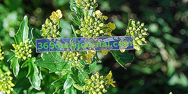Trava svete Barbare (Barbarea vulgaris 'Variegata'), protiv vatre