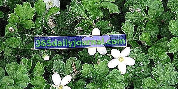 Ellisiophyllum pinnatum, vždyzelená půdopokryvná trvalka