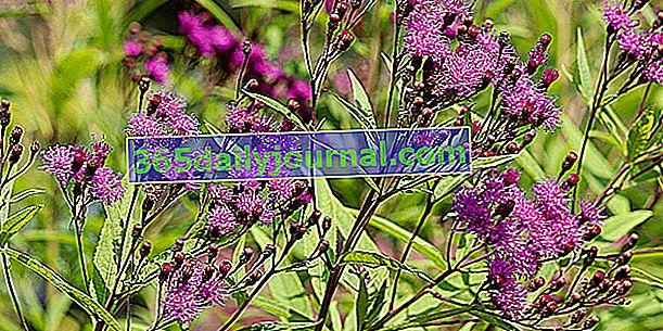 Вернония (Vernonia noveboracensis), разрошени цветя