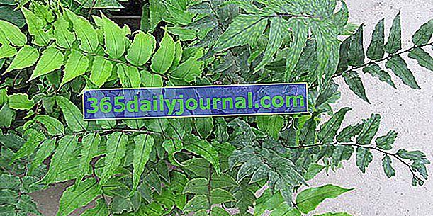 Falso Aspidium (Cyrtomium falcatum) o helecho acebo