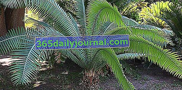 Divovski dioon (Dioon spinulosum), jedan od najvećih cikasa