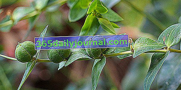 Peeling (Euphorbia lathyris), kretowisko