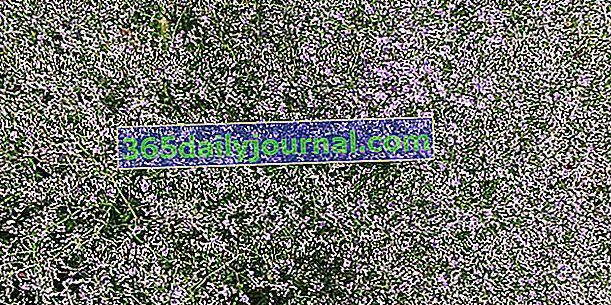 Многогодишна статица (Goniolimon tataricum), облак от малки цветя