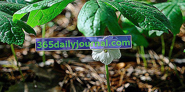 Podophylla pelté (Podophyllum peltatum), única podophylla de América