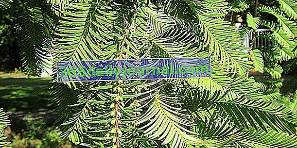 Metasequoia (Metasequoia glyptostroboides), crecimiento muy rápido