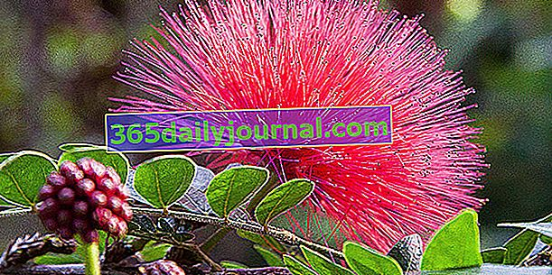 Puff Tree (Calliandra eriophylla), con penachos rojos