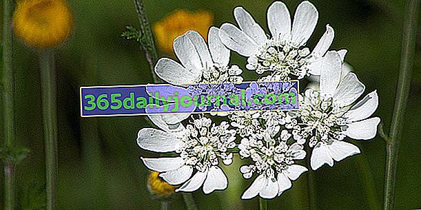 Kaukalis velikih cvjetova (Orlaya grandiflora), za suha tla