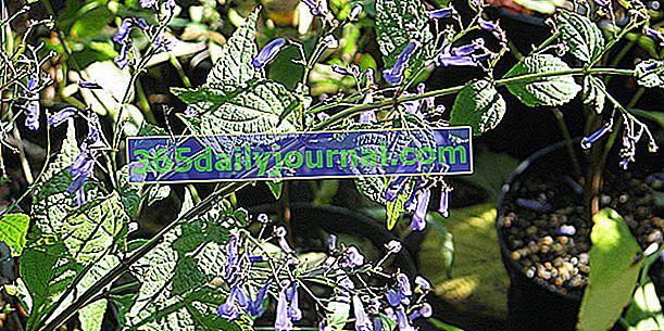 Isodon (Isodon longituba), una floración otoñal
