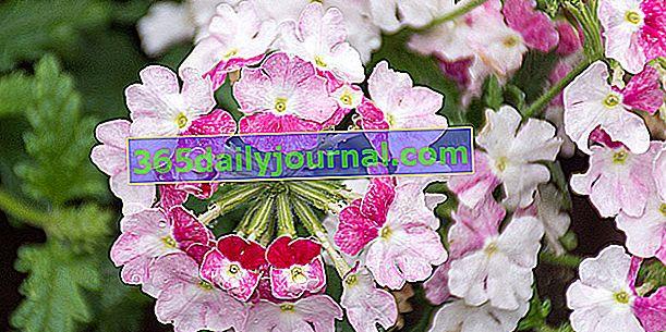 Werbena ogrodowa (Verbena x hybrida) we wszystkich kolorach