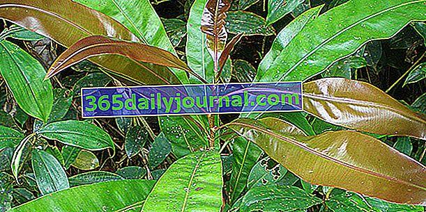Azobé (Lophira alata), dřevo odolné proti hnilobě