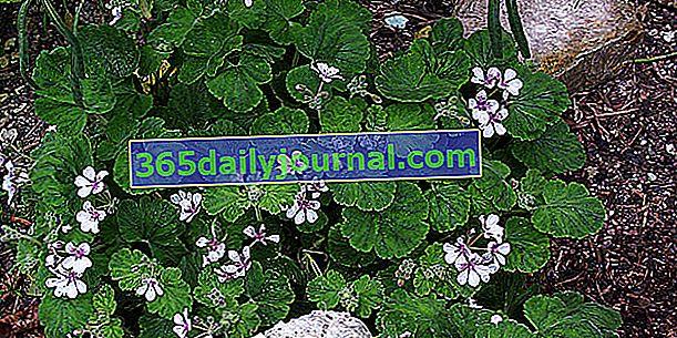 Erodium con flores de pelargonio (Erodium pelargoniflorum), pico de grulla