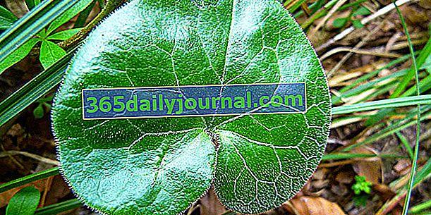 Asaret (Asarum), pokrivač tla od listova srca