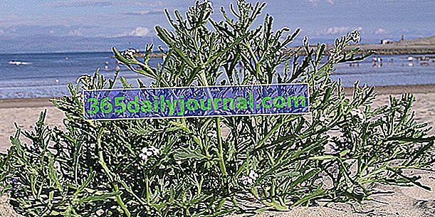Cohete de mar (Cakile maritima) que crece en un ambiente salado