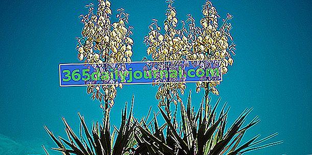 Славна юка (Yucca gloriosa) или превъзходна юка
