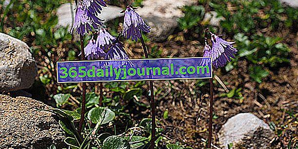 Солданелла (Soldanella alpina), двоюрідний брат первоцвітів