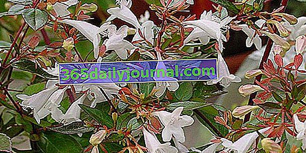 Abélia (Abelia), малки, изискани ароматни цветя