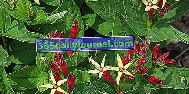 Spigelia (Spigelia marilandica), se zvědavými červenými a žlutými květy
