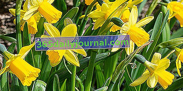 Narciso (Narcissus spp.) O narcisos, bulbos que florecen en primavera