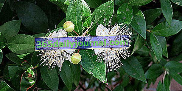 Mirto común (Myrtus communis), símbolo de Venus