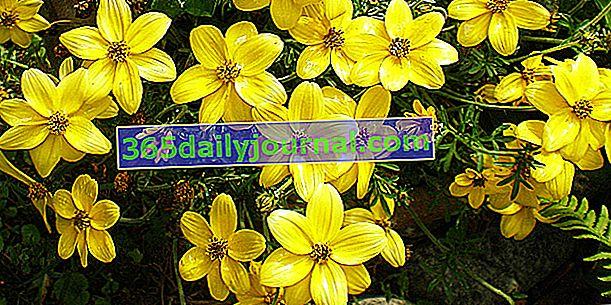 Bidens (Bidens ferulifolia), oro en el jardín