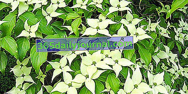 Dren (Cornus spp.), Idealan grm za živicu