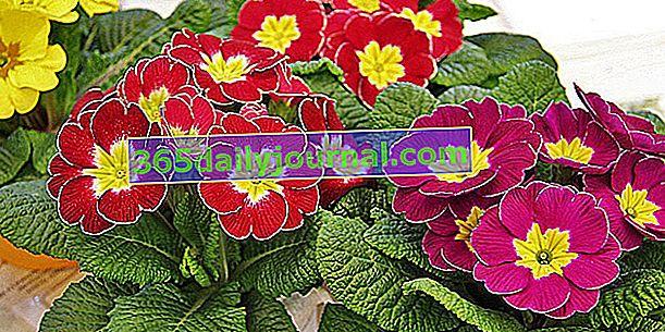 Pierwiosnek (Primula spp.), Charakterystyczny kwiat wiosny