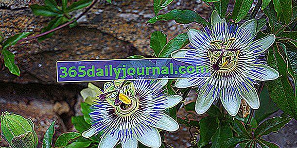 Niebieski kwiat męczennicy (Passiflora caerulea), trochę chłodne pnącze