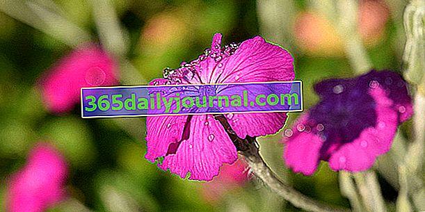 Garden Coquelourde (Lychnis coronaria) bylina o srebrzystych liściach