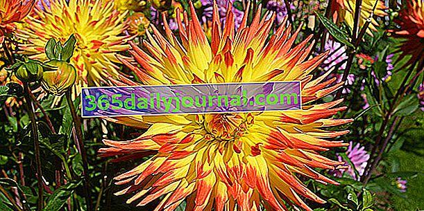 Dahlia (Dahlia), todos los colores, formas y alturas