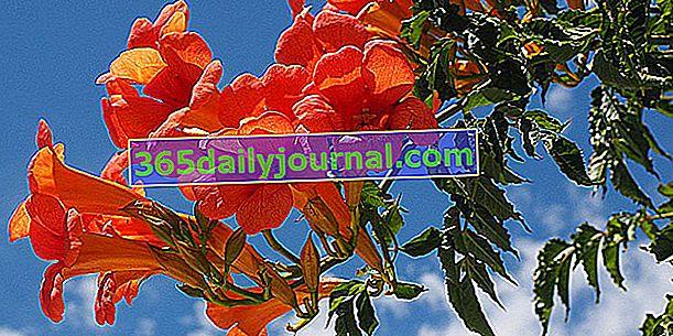 Bignone (Campsis spp.) Veya Virginia yasemin