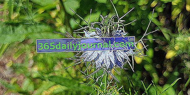 Нигела Дамаск (Nigella damascena), за дива или селска градина