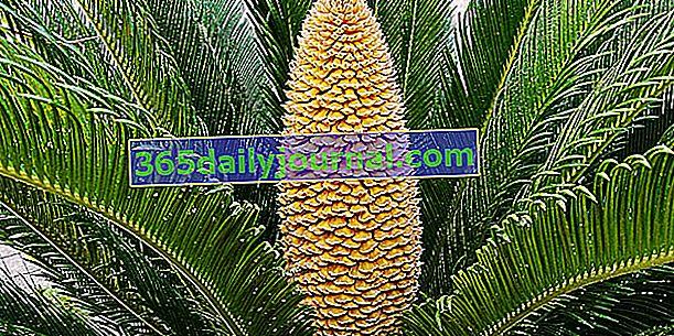 Фалшива палма (Cycas revoluta) или сагова палма