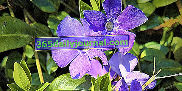 La vincapervinca (Vinca) o la violeta del hechicero