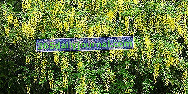 Laburnum vulgare, un arbusto muy venenoso