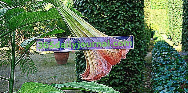 Brugmansia ili Arborescent Datura, anđeoska truba