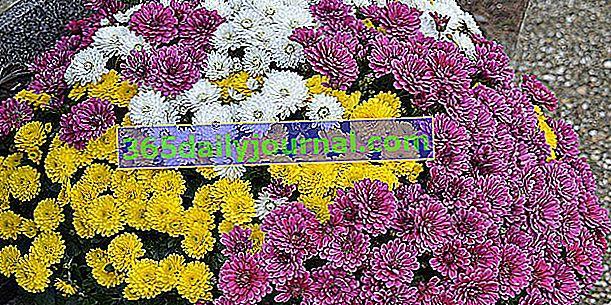Crisantemo (crisantemo) o margarita de los muertos