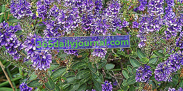 Hebe (Hebe), arbusto speedwell