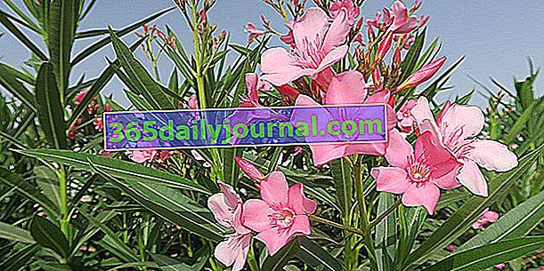 Oleandr (Nerium oleander), symbolický středomořský keř
