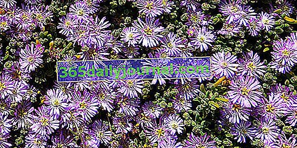 Ficoïde (Lampranthus), půdní kryt sukulentní