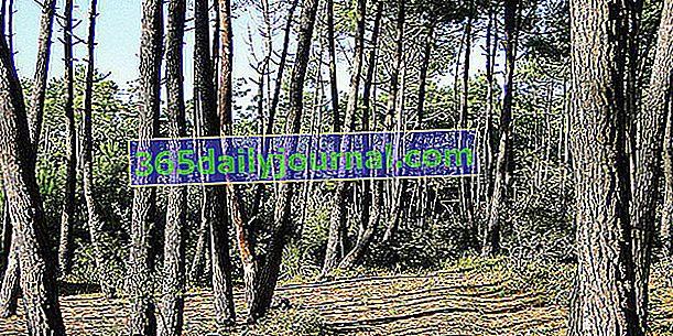 Pomorski bor (Pinus pinaster) ali bor Landes