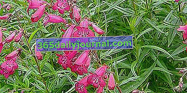 Bucolic Penstemon (Penstemon) na vašem vrtu