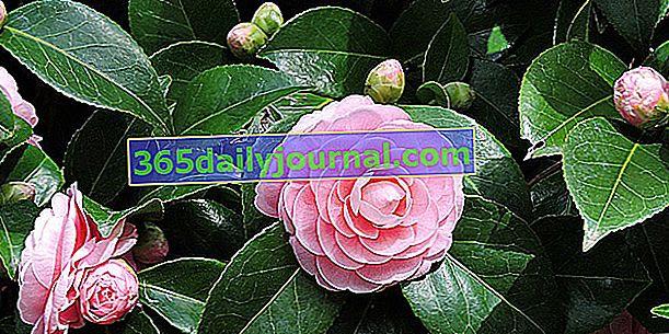 Camellia (Camellia), krzew o zimowych kwiatach
