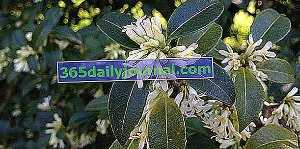 Osmanthus на Burkwood (Osmanthus x burkwoodi), ароматен хибрид
