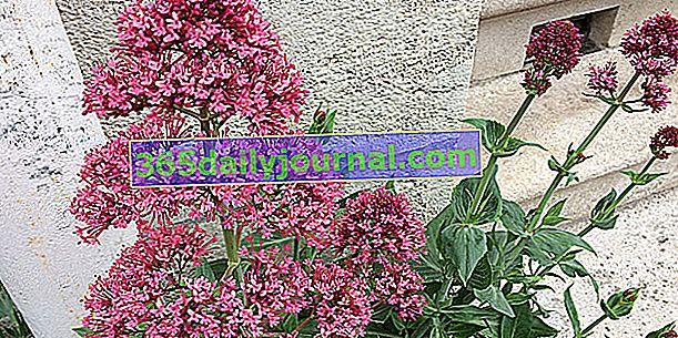Valerián červený (Centranthus ruber) alebo valeriána záhradná