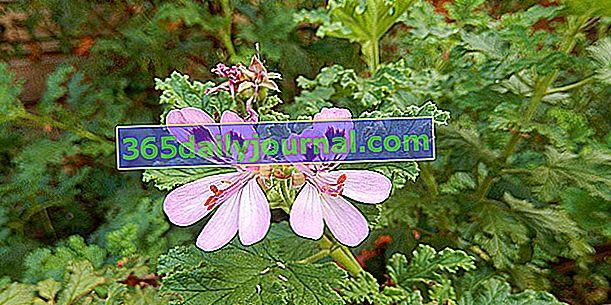 Voňavé pelargónie (Pelargonium spp.), S veľmi silným zápachom