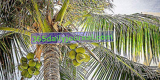 Palma kokosowa (Cocos nucifera), do orzecha kokosowego